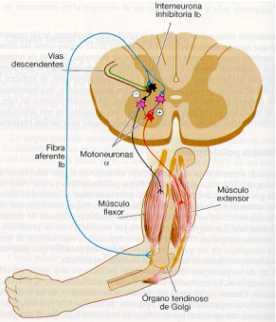 Inervacion de los husos musculares